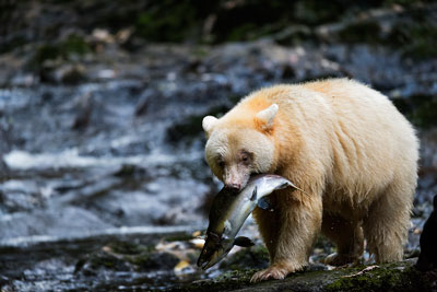 The Human Super Predator Revealed « Raincoast Conservation