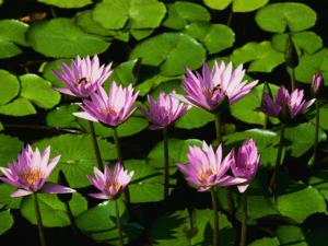 Water lilies Lanczos3