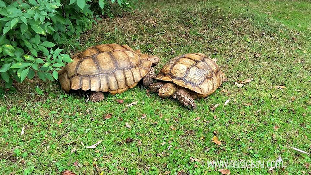 two giant african tortoise