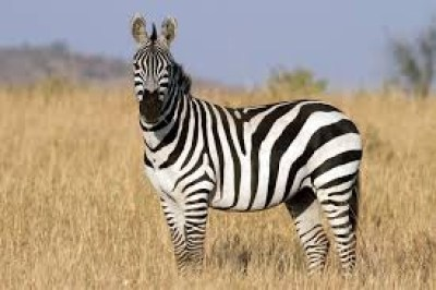 a zebra in the wild