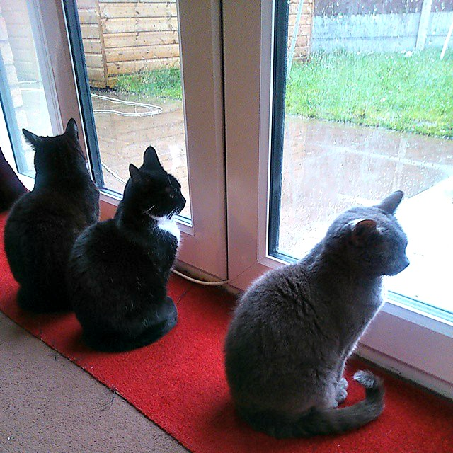 Three cats, two of them black and one of them grey, looking out of the window where it is raining outside on the path.