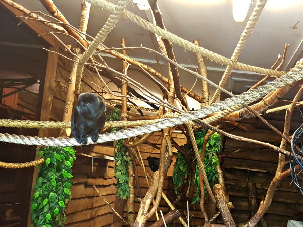 A very small and furry black Tamarin Monkey sitting on a rope in a wooden enclosure