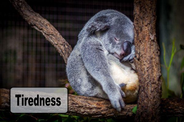 a koala bear asleep in a tree