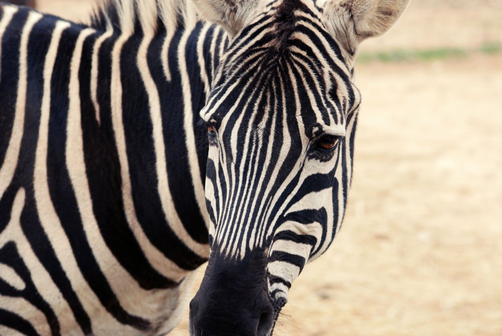 photo of a zebra with just it's head and shoulders showing