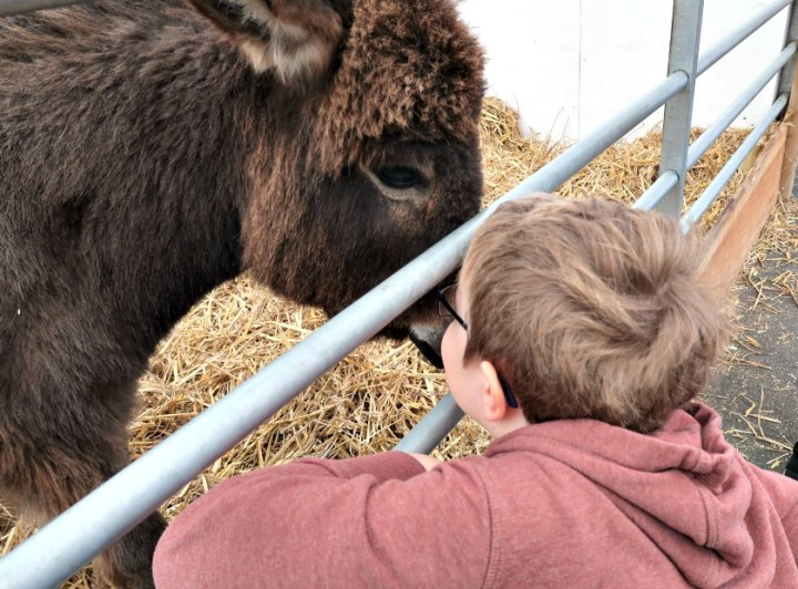 a little boy nose to nose with a baby donkey