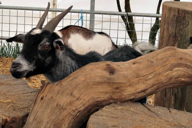 a black pygmy goat baby hiding behind a branch