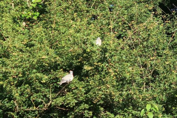 The trees at the back of my garden with wood pigeon's