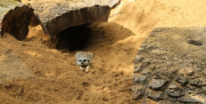 A meerkat lying on it's belly in the sand with wooden logs around for shelter and shade