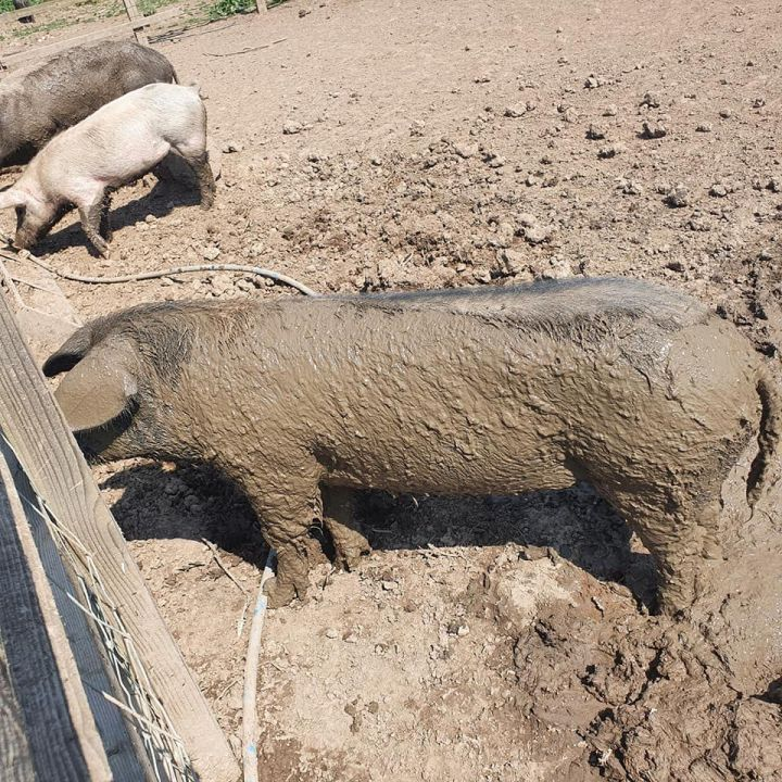 photo shows a pig covered in wet sticky mud. Would wet mud be a good way of cooling down on summer nights?