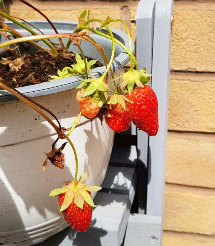 strawberries growing in a plant pot