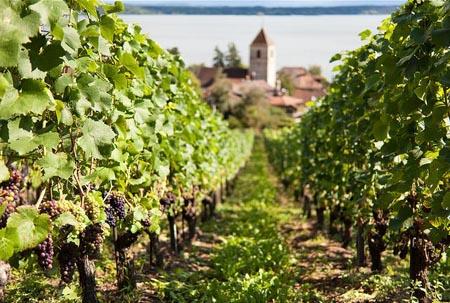 Culture Et Entretien De La Vigne Raisin Bio Fruit