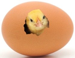 Image result for hatch chicken eggs