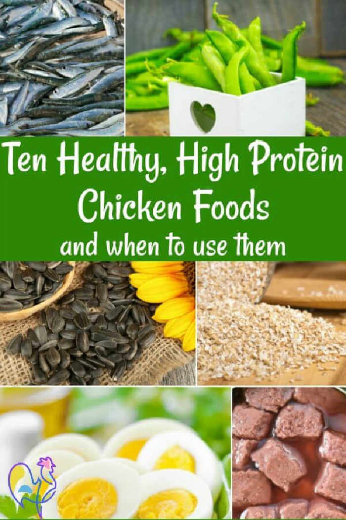 Are high protein foods good for chickens?