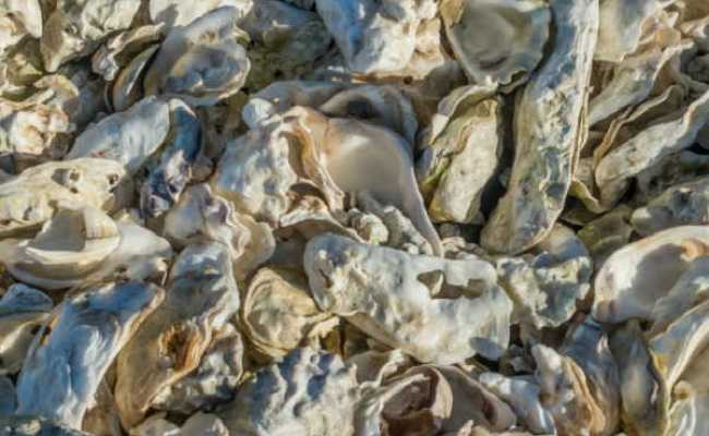 Grit And Oyster Shell Why Chickens Need Them