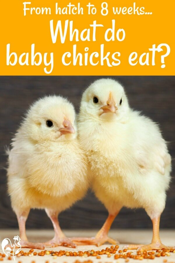 what do baby chicks