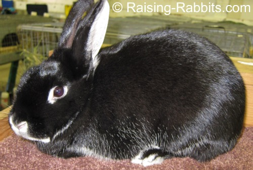 Conditioning Rabbits For Show Win With Prime Fur And Show