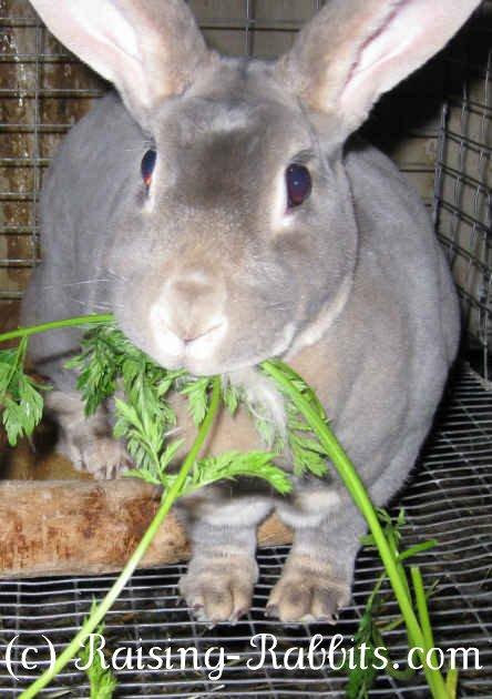 Feeding Rabbits What Rabbits Need To Eat Healthy Rabbit