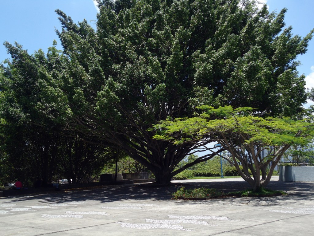 Beautiful shade tree