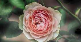 Blooming Pink/White Rose
