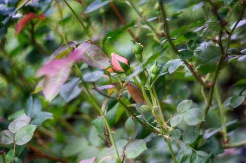 Pink Rosebud (Fake HDR)