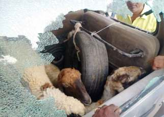 While stealing sheep and sheep in the car, the villagers caught one