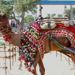 Camel at Pushkar Fair