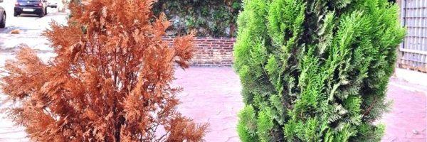 cyprès en pot cyprès vivant feuillu vert cyprès mort feuilles sèches