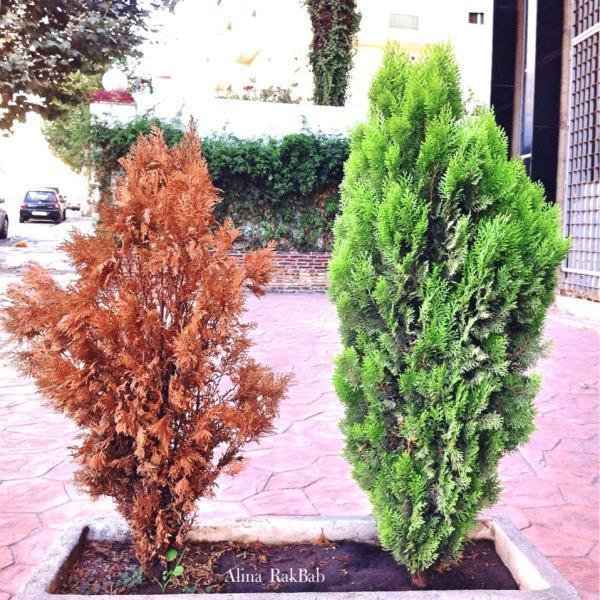 destin cyprès en pot cyprès vivant feuillu vert cyprès mort feuilles sèches
