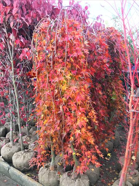 【楽天市場】【現品発送】バイカツツジ高さ1.3m~1.7m低木,花木,紅葉:ガーデンプランツ エナ