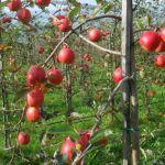 Besuch auf der Apfelplantage von Niklaus Bolliger
