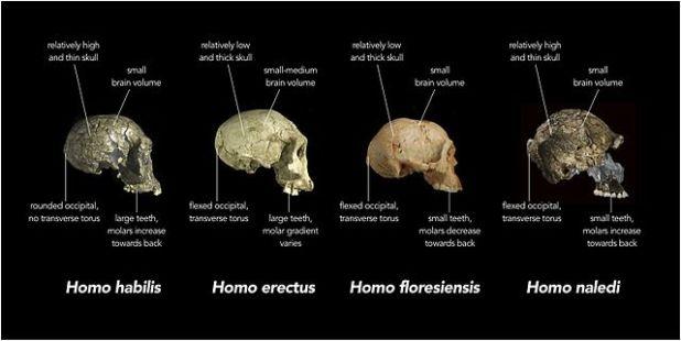 جمجة لنوع هومو ناليدي مقارنة بالأنواع الأخرى من جنس هومو ( مصدر الصورة : Wiki )