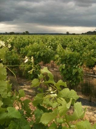 Vines near Azille.
