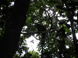 A saki monkey on our early morning walk.