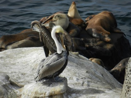 Pelican and sea lions.