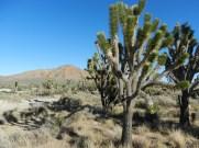Joshua Tree.