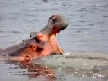 Hippo yawning.
