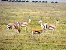 Thomsons gazelle.