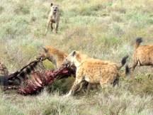 hyenas get kill.