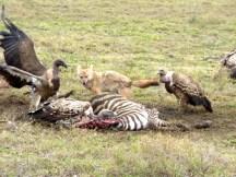Vulturesfight jackal.