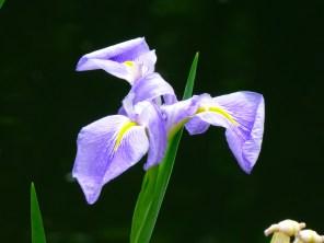 Hong Kong iris.
