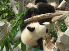 Panda playing.