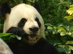 Mature panda eating.