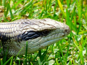 Blue-tongue lizard.