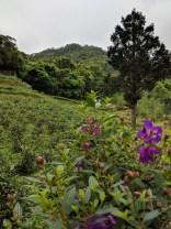 Maokong tea plantation.