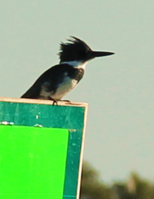 Belted kingfisher on a day mark.