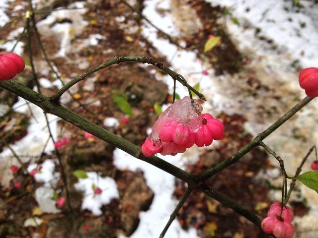 fruits roses glacés (fusain)