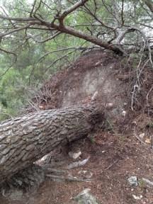 Un arbre déraciné