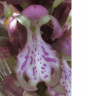 fleur orchis hybride