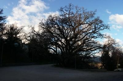 Chêne remarquable 400 ans