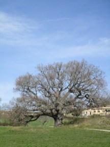 Le gros chêne de Murs
